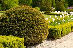 green-taxus-baccata-yew-shrub-ornamental-garden-plant-globular-shape-bunch-coniferous-plan