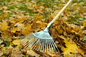 Leaves being raked by a lawn mowing service in st. charles mo. Louis lawn service