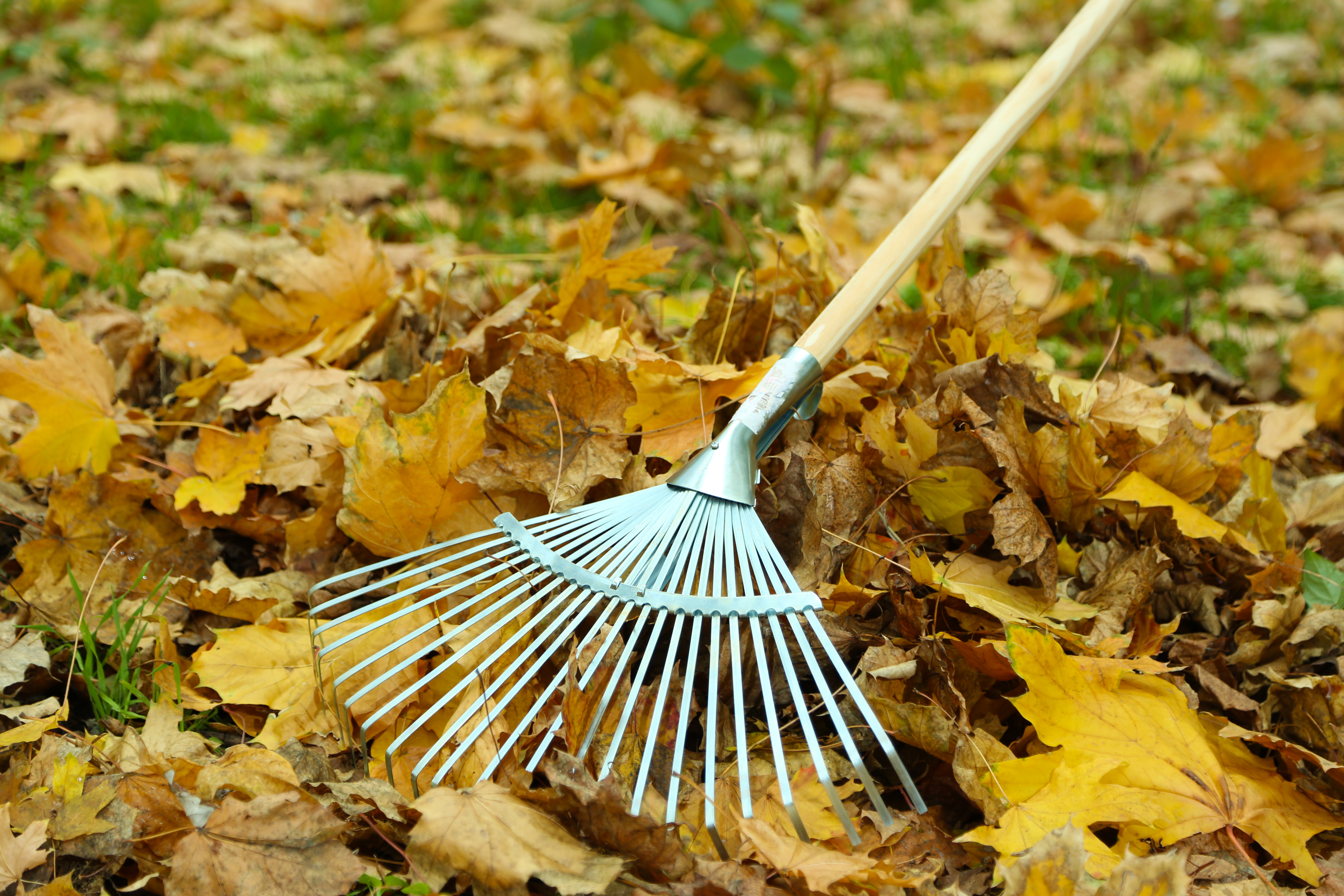 lawn company raking leaves in Webster Groves Mo